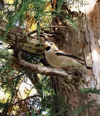 野鳥(1335)ーシメ、今期初撮り