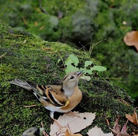野鳥(1336)ーアトリ、今期も多い?
