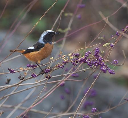 野鳥(1343)-ジョウビタキ、 コムラサキシキブと
