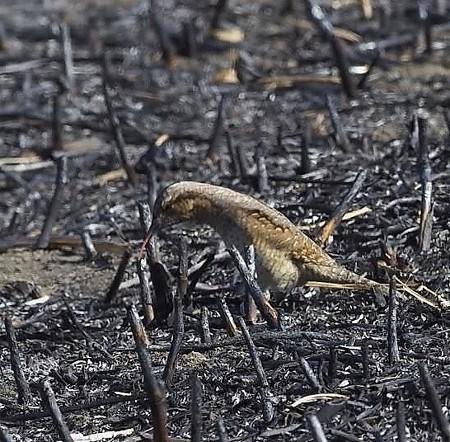 野鳥(1352)−アリスイ、焼け畑で