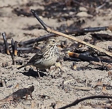 野鳥(1353)−タヒバリ, 灰の中の