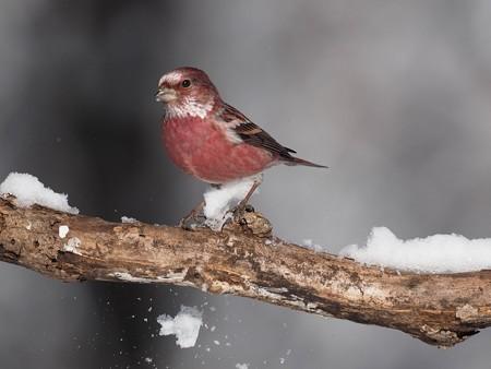 野鳥(1358)−オオマシコ、新雪に