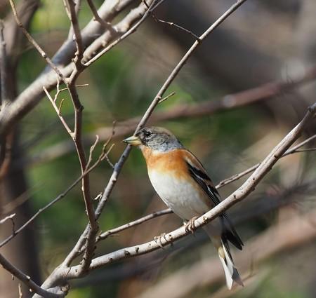 野鳥(1359)−アトリ、カメラ補修後に