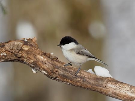 野鳥(1361)−コガラ, 雪中で