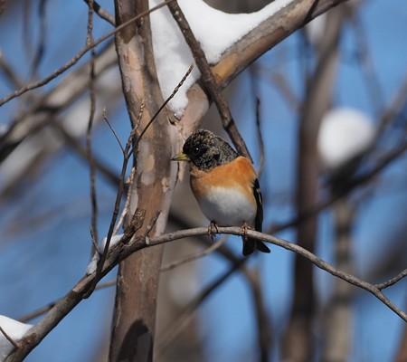 野鳥(1363)−アトリとヤマガラ、雪にも負けず