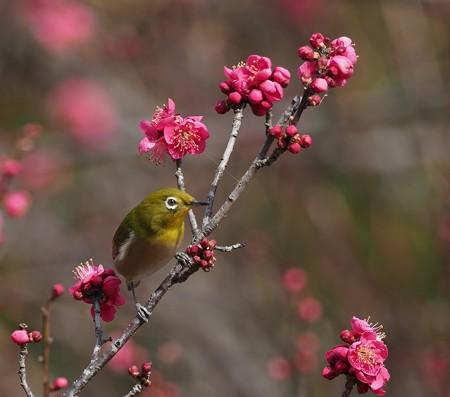 野鳥(1364)−メジロとジョウビタキ、紅梅と