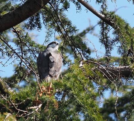 野鳥(1373)ーオオタカ、 今季も・・・