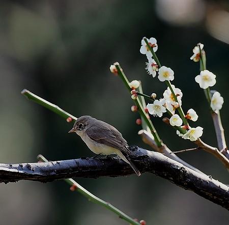野鳥(1378)ーニシオジロビタキ、キュィートな