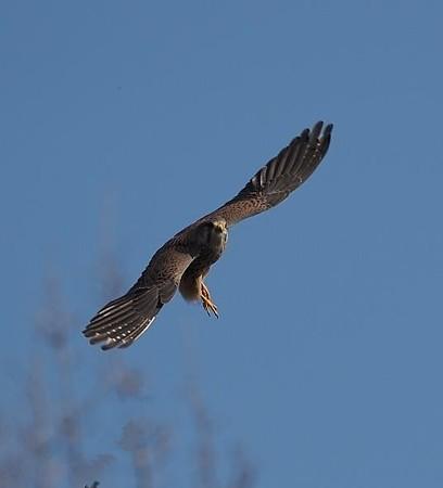 野鳥(1379)ーチョウゲンボウ、動きが活発に
