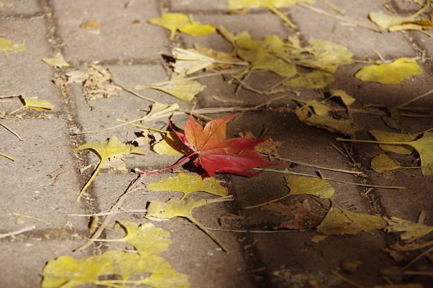 北大イチョウ並木その15