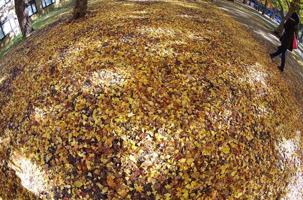 北大イチョウ並木その18