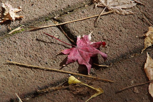 北大イチョウ並木その23