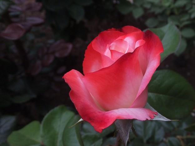 写真: バラに魅せられて