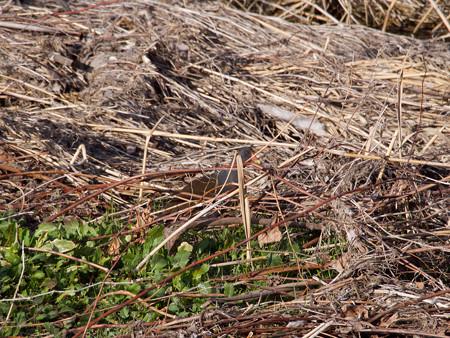 草叢に潜むバン