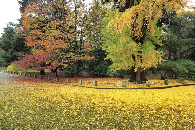 Photos: 銀杏の絨毯・一條邸跡