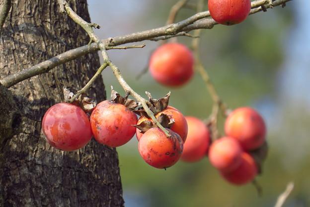 Photos: 熟柿(じゅくし)