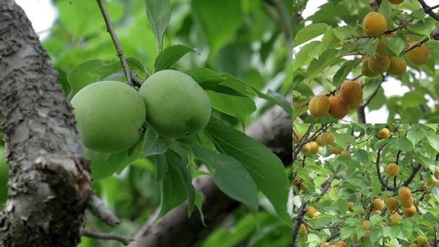 梅の実が熟す頃