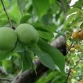 Photos: 梅の実が熟す頃