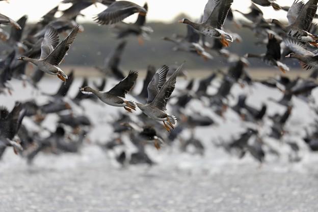 水鳥の渡り