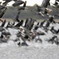 写真: 水鳥の渡り
