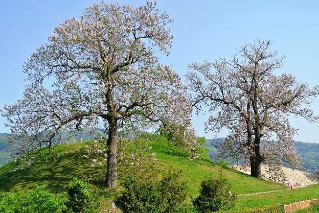 心合寺山古墳の桐の木