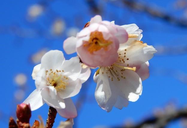 大阪城公園桜広場の早咲き桜2018 (3)