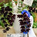 沖縄国際洋蘭博覧会(黒いラン)