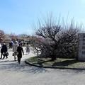 写真: 大阪城梅林 (1)