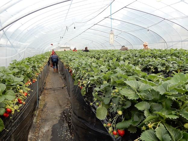 中島農園 (2)