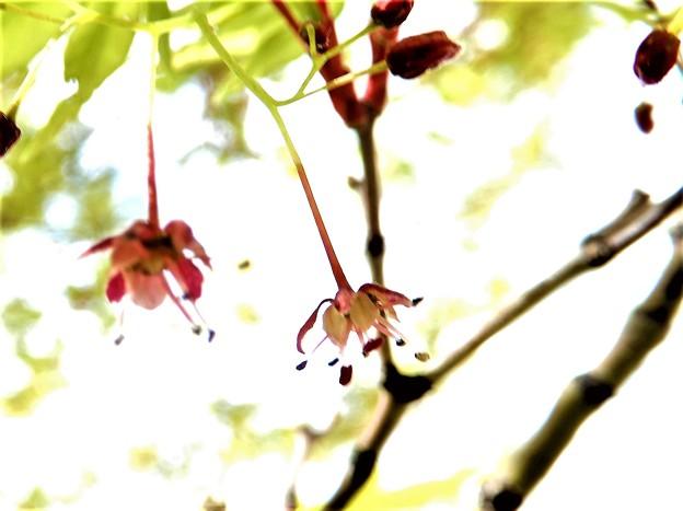 カエデの花 (1)