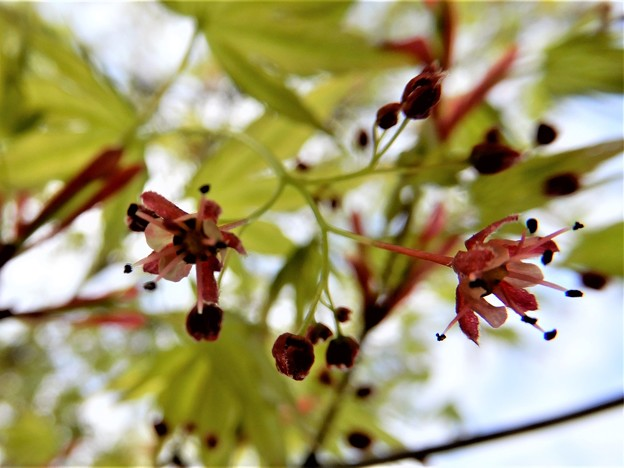 カエデの花 (2)