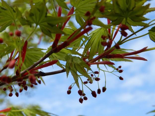 カエデの花 (4)