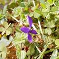 写真: ヒメスミレのような花
