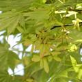 カエデの種子 (3)