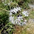 写真: 野蒜の花 (4)