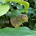 写真: 蝋梅の実 (1)