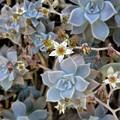 写真: 朧月の花