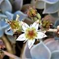 写真: 朧月の花-部分拡大