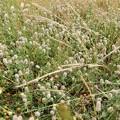 写真: 大和川の川原に群生していた花 (1)