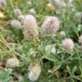 写真: 大和川の川原に群生していた花 (2)