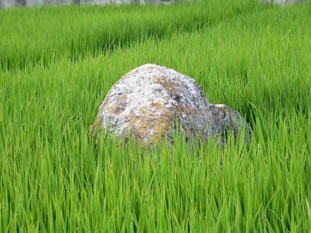 10阿弥陀浄土院庭園の景石? (1)