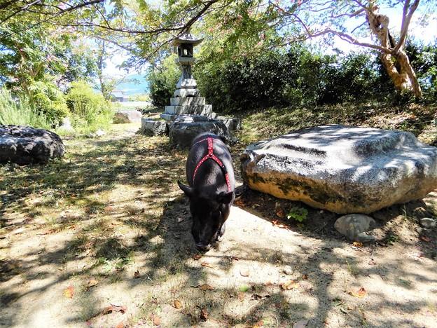 06本薬師寺跡で見た黒豚 (1)