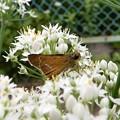 写真: ニラの花とイチモンジセセリ (2)