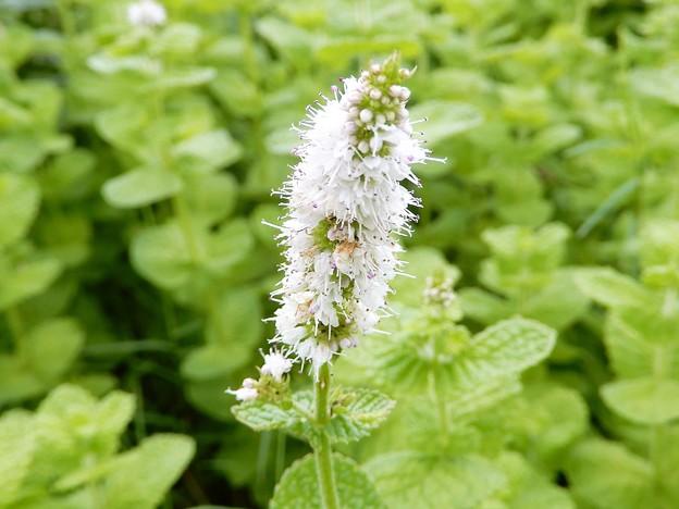 ミントの花 (3)