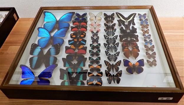 写真: 蝶の標本 (1)
