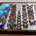 Photos: 蝶の標本 (1)