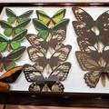 写真: 蝶の標本 (2)