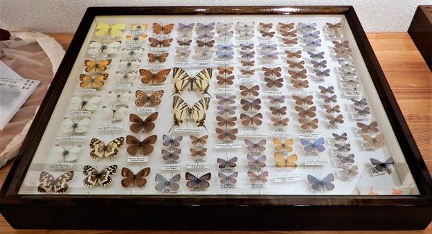 蝶の標本 (3)