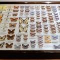 写真: 蝶の標本 (3)
