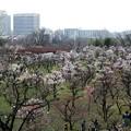 Photos: 大阪城公園の梅林2019 (1)